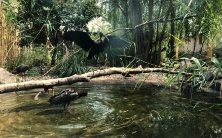 Plegadis Falcinellus In The Zoo Video Stock Video